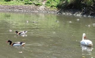 pond_bird